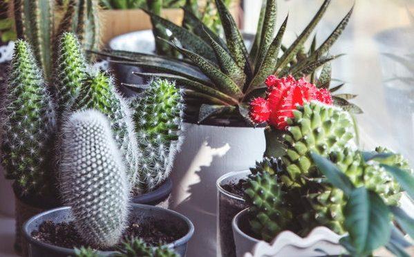 Espines dels cactus